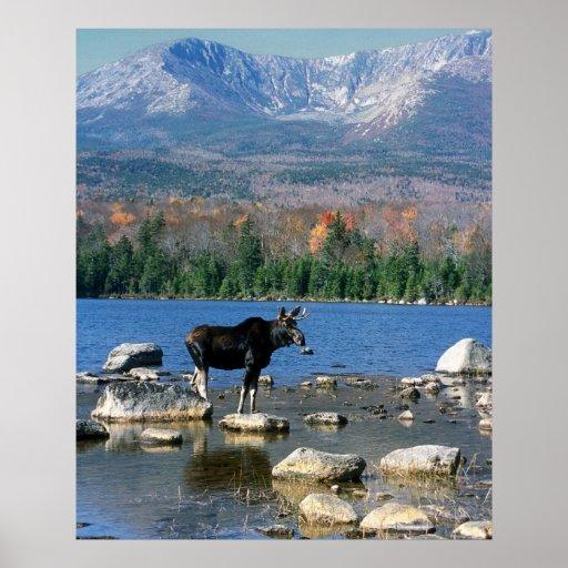 Bull Moose and Mount Katahdin Poster