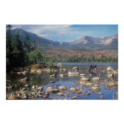 Bull Moose Feeding below Mount Katahdin Posters