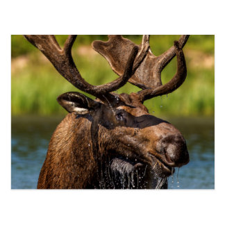 Bull moose feeding in Glacier National Park Postcard