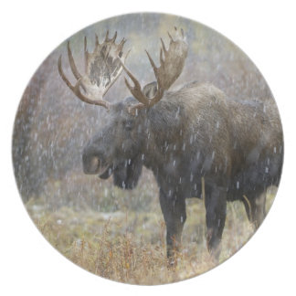 Bull moose in snowstorm with aspen trees in dinner plates