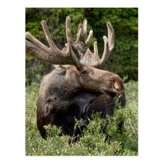Bull Moose In the Wild Postcard