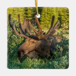Bull moose in velvet, Colorado