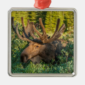 Bull moose in velvet, Colorado Silver-Colored Square Ornament