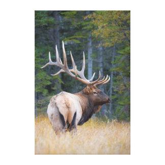 Bull Rocky Mountain Elk Canvas Print