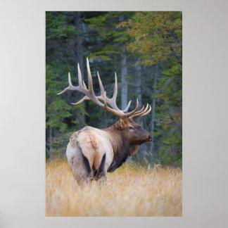 Bull Rocky Mountain Elk Poster