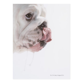 Bulldog Licking Postcard