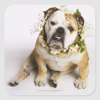 Bulldog with flower collar square sticker