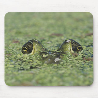 Bullfrog, Rana catesbeiana, adult in duckweed Mouse Pad