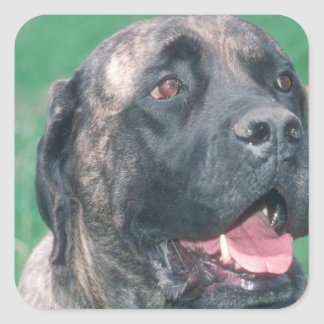 Bullmastiff Brindle Square Sticker
