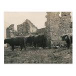 bulls at ruins post cards