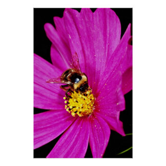 Bumble bee gathering pollen from pink flower  flow poster