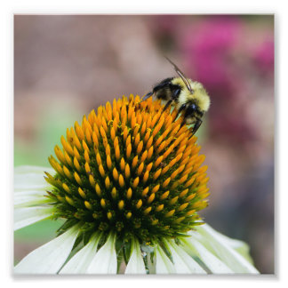 Bumble Bee on Coneflower Square Print