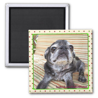 Bumblesnot magnet:  Sitting Puggy Square Magnet