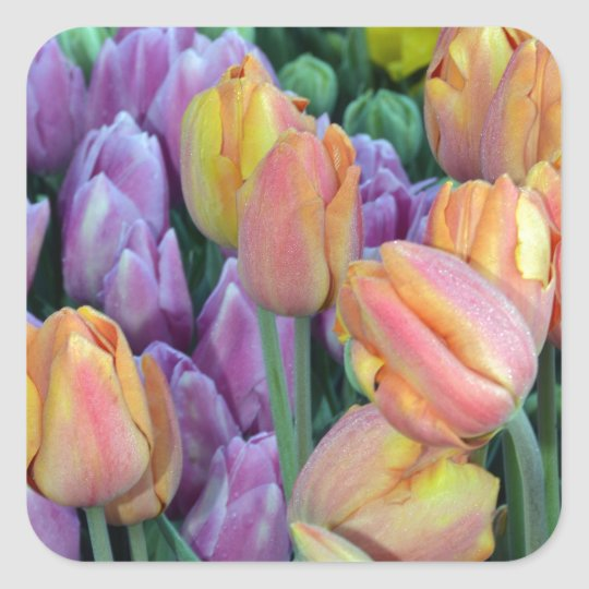 Bunch of colorful tulips square sticker