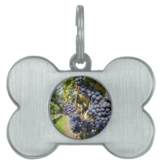 Bunches of blue grapes with path pet ID tags