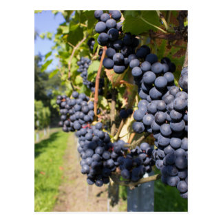 Bunches of blue grapes with path postcard
