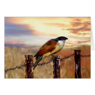 Burchell's Coucal cuckoo bird Card