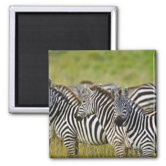 Burchelli's Zebra, Equus burchellii, Masai Mara, 2 Square Magnet