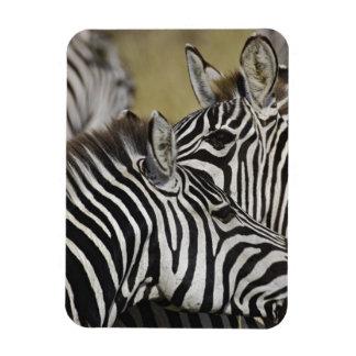 Burchelli's Zebra, Equus burchellii, Masai Mara, 3 Rectangular Photo Magnet