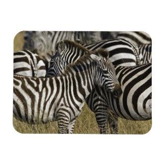 Burchelli's Zebra, Equus burchellii, Masai Mara, Rectangular Photo Magnet