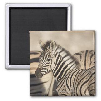 Burchell's Zebra (Equus quagga burchellii) foal Square Magnet