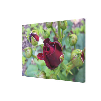 Burgundy rose after rain canvas print