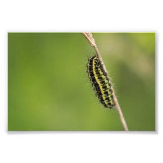 Burnet Moth Caterpillar Photo