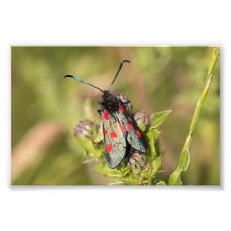 Burnet Moth Photograph