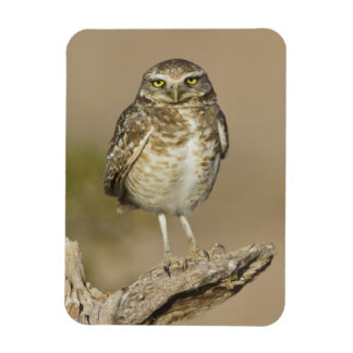 Burrowing Owl on a stick Magnet