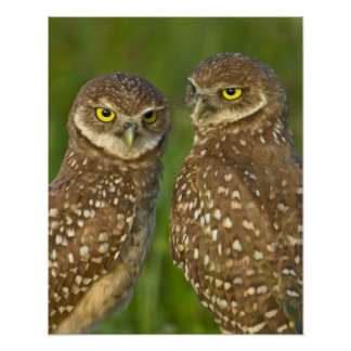 Burrowing owls are a popular site on Marco 2 Poster