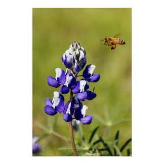 Busy Bee Contemplating a Wild Lupin Flower Poster