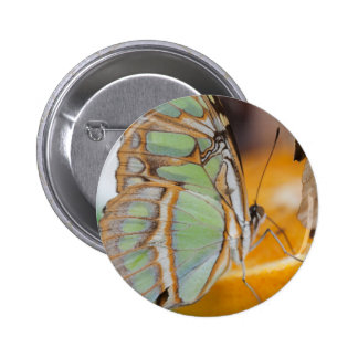 butterffly on fruit 2 inch round button