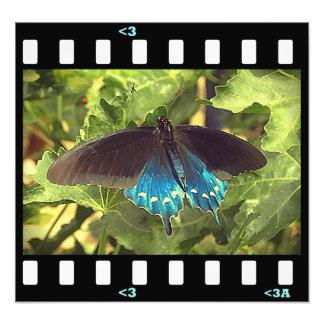butterflies- pipevine swallowtail photograph