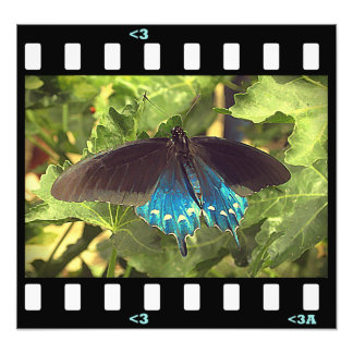 butterflies- pipevine swallowtail photograph