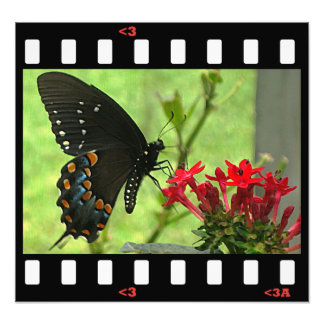 butterflies- pipevine swallowtail (side) photograph