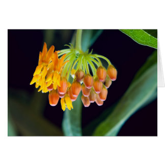 Butterfly Milkweed Buds and Blooms Card