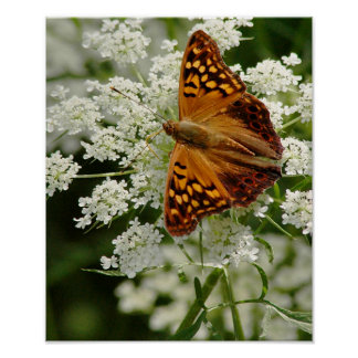 Butterfly on Queen Anne's Lace Poster