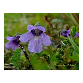 Butterwort or Bog Violet, Unalaska Island Postcard