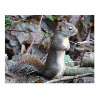 Button the Douglas Squirrel Postcard