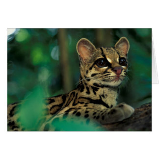 CA, Central Panama, Soberania NP, Margay Card