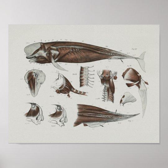Caaing Pilot Whale Anatomy Print Marine Biology