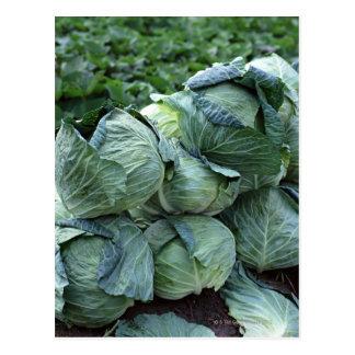 Cabbage Postcard