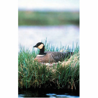 Cackling Canada goose on nest Cut Outs
