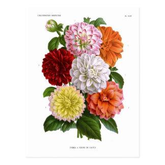 Cactus Dahlias Postcard