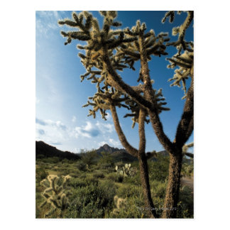Cactus in Saguaro National Park , Arizona Postcard