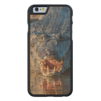 Caiman shows its teeth, Brazil Carved® Maple iPhone 6 Slim Case