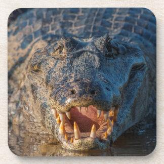 Caiman shows its teeth, Brazil Coaster