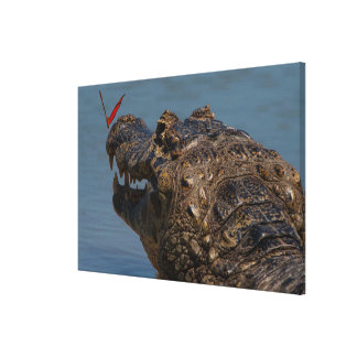 Caiman with a butterfly, Brazil Canvas Print