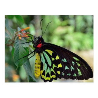 Cairns Birdwing Butterfly Photo Postcard