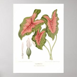 Caladium bicolor poster